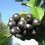 Сорта аронии Черноокая фото