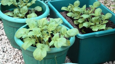 картофель можно вырастить из семян