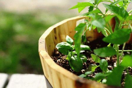 Выращивание помидоров в бочках
