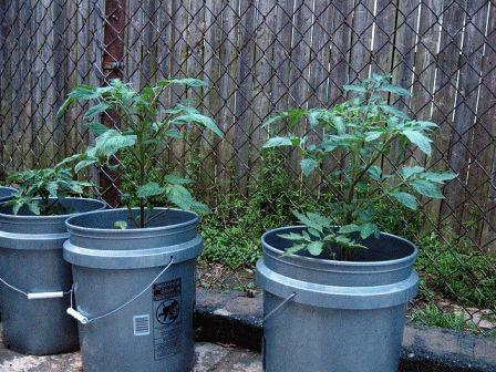 Выращивание помидоров в бочках фото