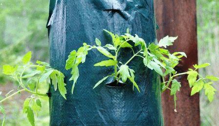 Выращивание помидоров в мешках фото