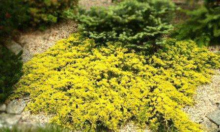 Голден  Карпет (Golden Carpet