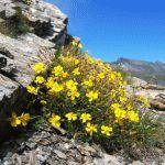 Гелиантемум (Солнцецвет) - посадка и уход, описание цветка