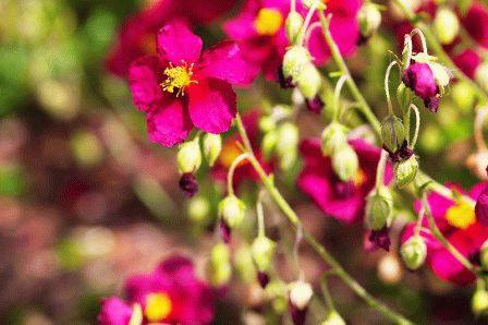 Уход за цветами Гелиантемум