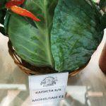 Лучшие сорта капусты прошлого сезона, отзывы дачников