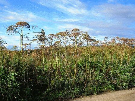 борщевик ядовитое растение