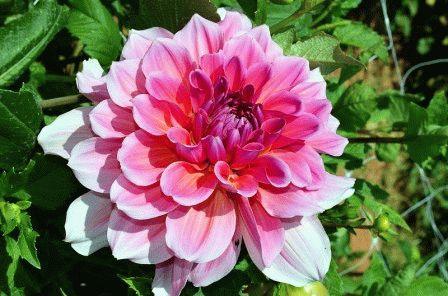 георгины многолетние цветы
