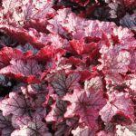 Гейхера – посадка и уход, календарь работ за цветами