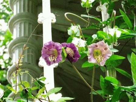 кобея лазающая фото в саду