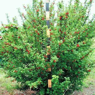сорта войлочной вишни Осенняя Вировская фото