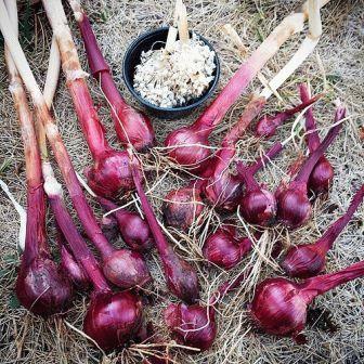 сладкий лук выращивание