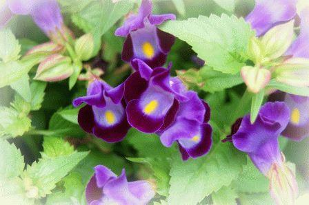 цветок торения выращивание и уход
