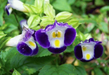 торения выращивание +из семян в домашних условиях