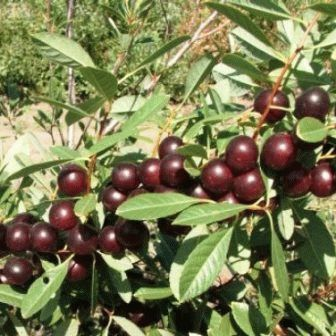 вишня бессея плоды фото