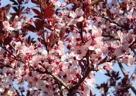 вишня бессея цветет фото