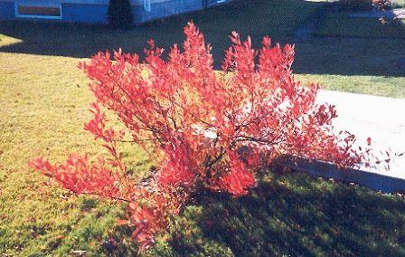 Вишня Бессея осенью