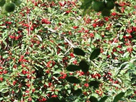 вишня степная плоды фото