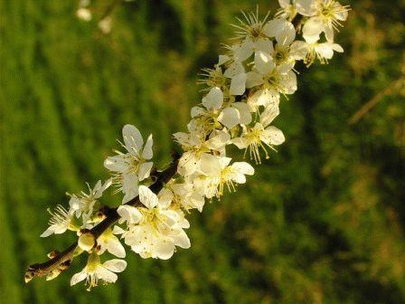 вишня степная цветение фото