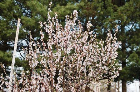 По сроку цветения сорта вишни войлочной