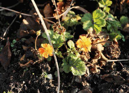 Geum hybridum гравилат гибридный