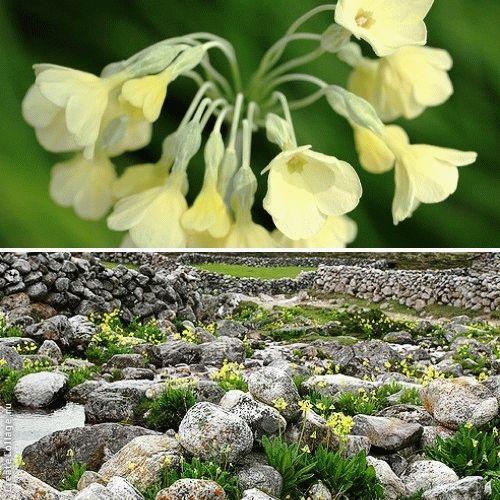 Primula Sikkimensis Примула Сиккимская
