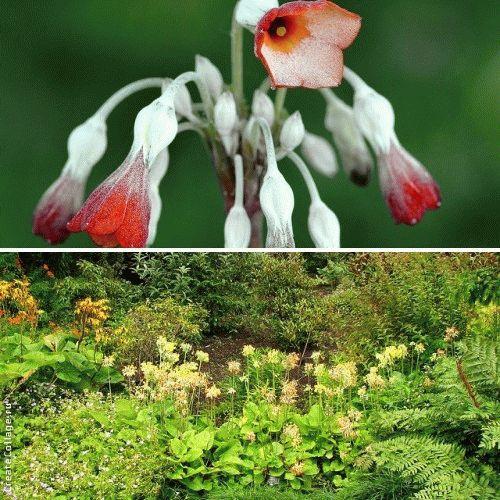 Primula florindae Примула Флоринды