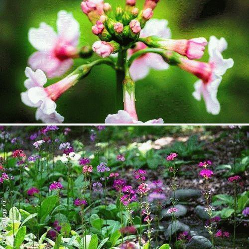 Primula japonica Примула японская