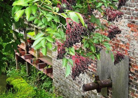 бузина черная в саду фото