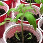 Выращивание рассады помидоров в стаканчиках