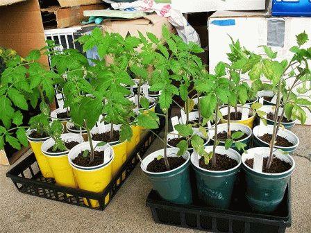 огда садить помидоры на рассаду
