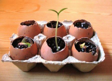 семена В яичной скорлупе