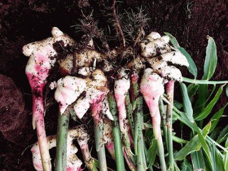 Основное правило выращивания имбиря