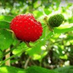 Ежеклубника (малина розолистная, тибетская) – выращивание на даче