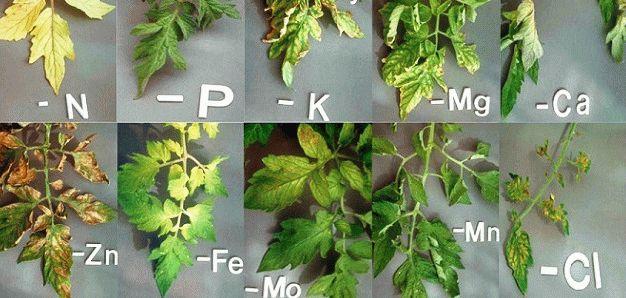 болезни рассады томатов