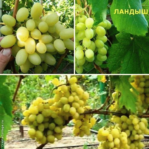 виноград ландыш описание сорта фото