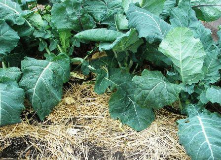 фото капусты кольраби