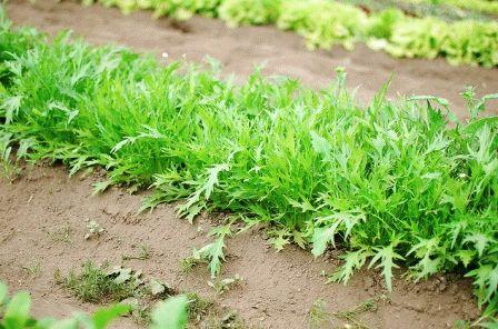 японская капуста мизуна выращивание
