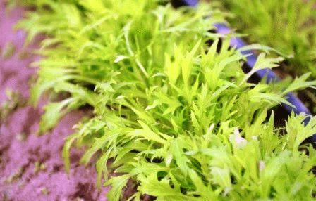 Капуста японская Мизуна, семена