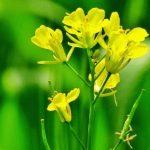 Выращивание белой горчицы как растения сидерата