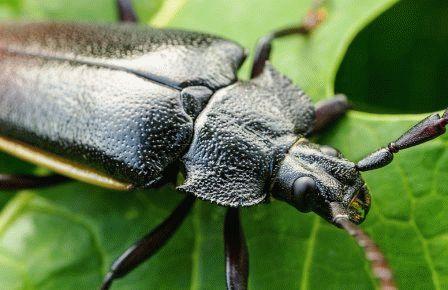 борьбу с жуком-стригуном