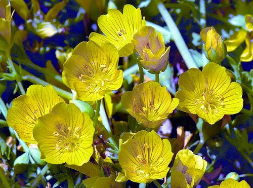 Limnanthes yellow