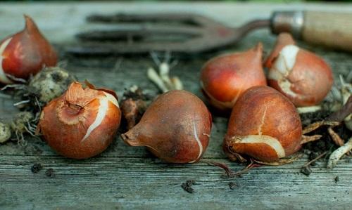 lukovici tulpanov