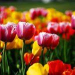 posadka tulpanov osenu