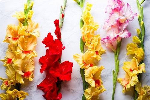 detki gladiolusov