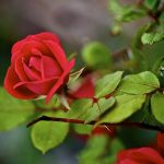 rozi iz seman