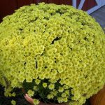 chrizontema multiflora