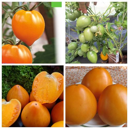 tomat zolotoe serdce