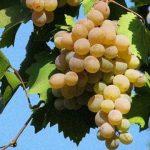 vinograd Bianka