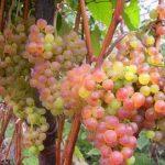 vinograd korinka russkaya