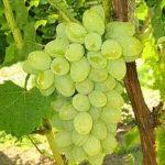 vinograd neptun